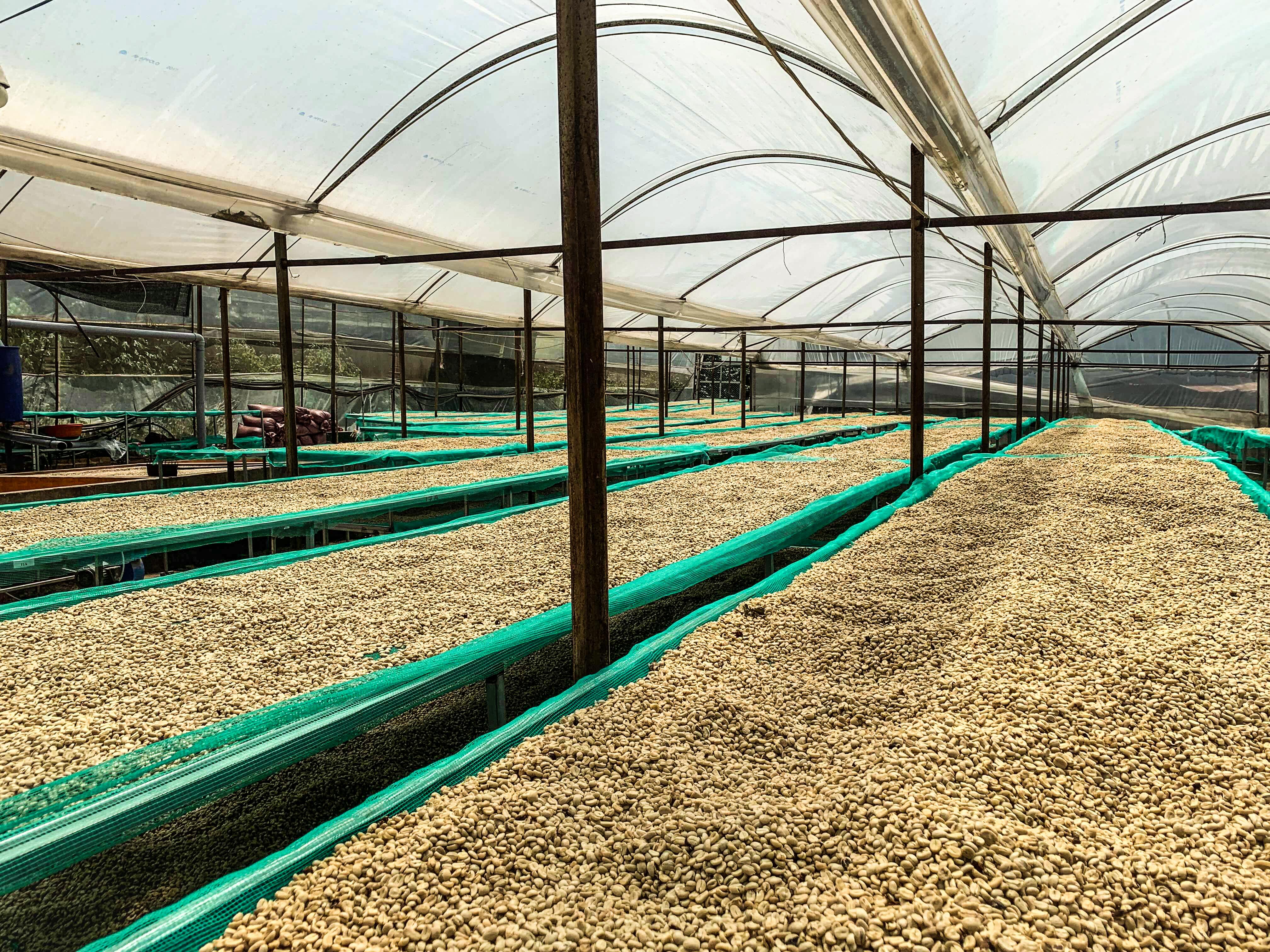 100% hạt cà phê của HANCOFFEE đều được phơi trên giàn phơi và được kiểm soát hàng ngày bởi chuyên viên R&D cho đến khi đạt tiêu chuẩn.